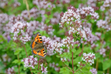 butterfly on oregano flowers on a green glade
