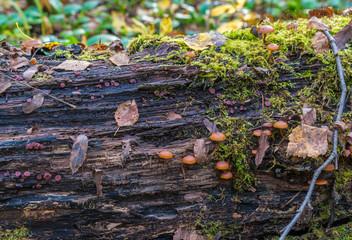 Poisonous fungus (Galerina marginata) on a decaying log