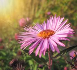 Beautiful pink autumn flowers among green plants/Beautiful pink autumn flowers among green plants
