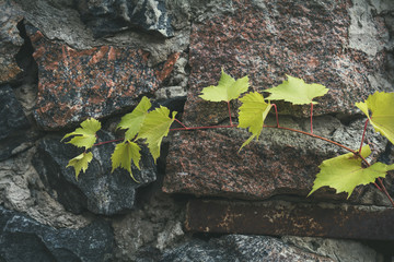 Young branch of grapes on a background of stone granite wall. Coloring and processing photos in vintage style