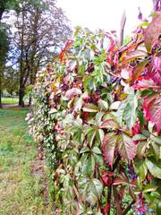 Wild grape (Virginia Creeper) on a fense in a park