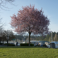 Cherry tree in blossom at marina, Vancouver, British Columbia, C
