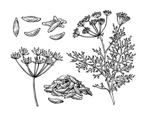 Fototapeta Caraway vector hand drawn illustration set. Isolated spice objec obraz