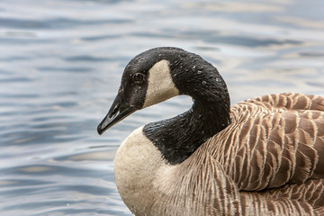 Portrait of a Canadian goose