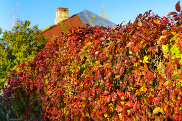 red-yellow autumn ivy on a rustic fence, sunny day