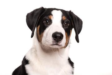 Appenzeller Sennenhund im Portrait - Niedliches Hundegesicht freigestellt