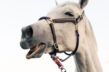 Funny horse portrait isolated white background.