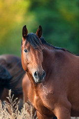 Bay horse portrait  on herd
