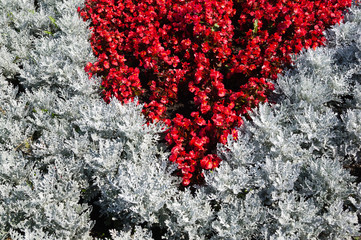 A flower bed of gray and red colors. Geometric pattern from the summer flowers.