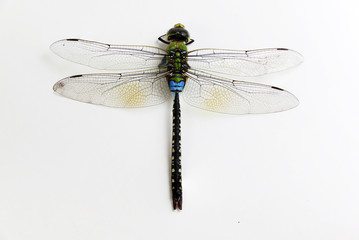 Dragonfly green and black