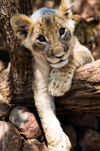 lion l we baby stockfotos und lizenzfreie bilder auf bild 122933770. Black Bedroom Furniture Sets. Home Design Ideas