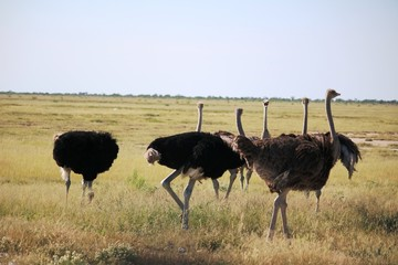 Herd of African ostrich at Etosha National Park in Namibia, Africa