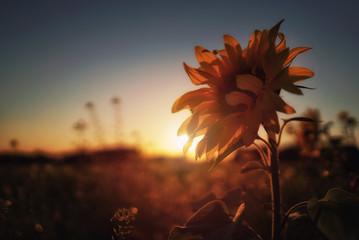 Sun Flower Sunset
