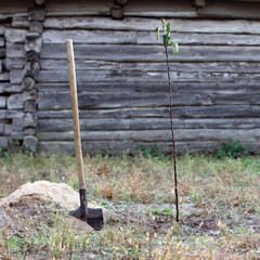 young sapling apple/ has just planted seedling fruit trees in the garden in autumn