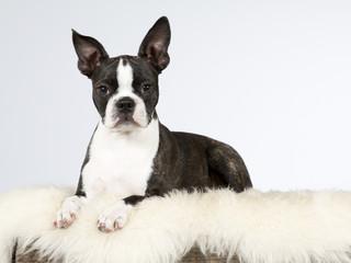 Boston terrier puppy portrait. Image taken in a studio.