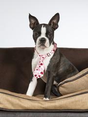 Boston terrier puppy portrait. Image taken in a studio. The dog is wearing a pink tie.