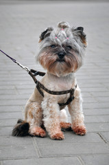 Portrait of a little decorative Yorkshire terrier of pale orange color with a haircut on its head and on a leash sitting on the gray sidewalk.