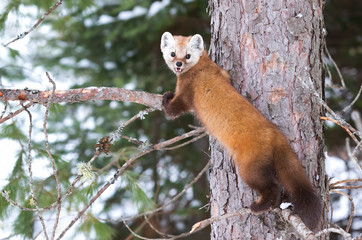 Pine marten rests on a branch in Algonquin Park, Canada in winter Wall mural