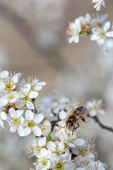 Honeybee on Apple Tree in Spring