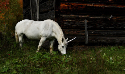 The mythical unicorn grazes in a grassy field beside a barn in Canada