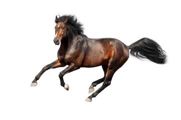 Bay stallion run isolated on white background