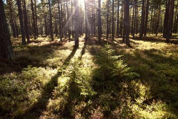 Wald und Heide Landschaft in Schweden