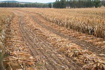 Autumn corn field