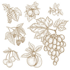 Red currants, gooseberries, blueberries, raspberries, grapes, cherries, plums. Vector illustration of different fruits and berries isolated on a white background. Set of graphic image objects nature.