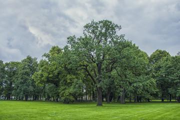 a large tree,an oak tree,300 years