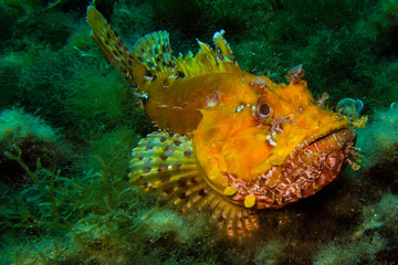 Portrait of Scorpionfish