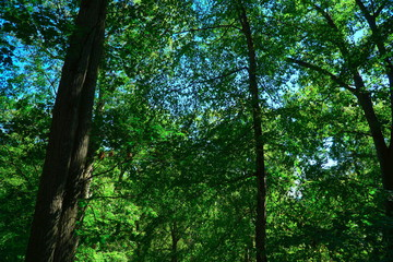 Tall forrest tree background. Blue skies and bright sun peak through the green leaves into the woods. Scenic view for hiking.