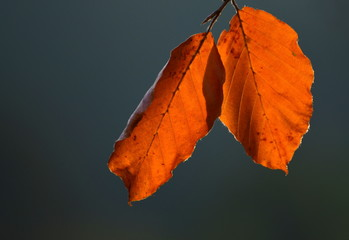 a pair of beech leaves