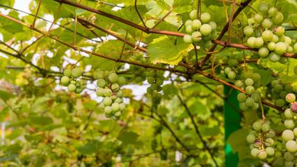 Ripe Bunche of White Wine Grapes.  Grape. Grape harvest. Grape p
