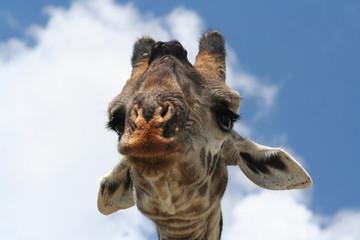 Poster Giraffe Giraffe Head