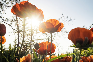 Low angle view of poppy flowers against sky during sunny day