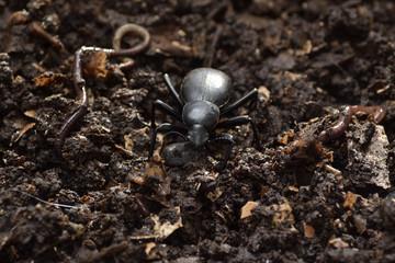 Escarabajo y lombrices en compost.