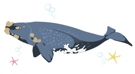 Right whale whale icon isolated on white background cartoon realistic whale