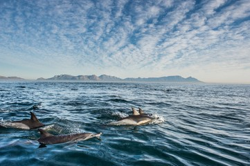 Group of dolphins, swimming in the ocean and hunting for fish. Dolphins swim and jumping from the water. The Long-beaked common dolphin (scientific name: Delphinus capensis) in atlantic ocean.