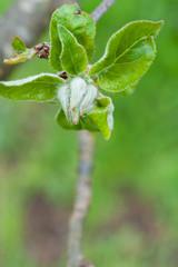 Close up of new hazelnut leaves growing in Spring