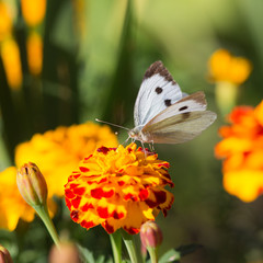 white butterfly on marigold