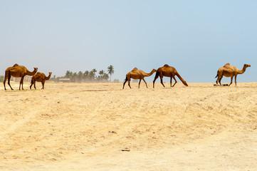 Camels at the beach of Salalah, Dhofar, Sultanate of Oman