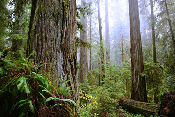 Aluminium Prints Forest Coastal Redwoods in Jedediah Smith State Park