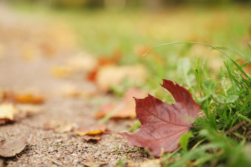 fallen maple leaves on the path in park