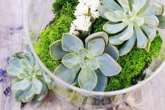 Succulents (echeveria) and moss in glass jar.