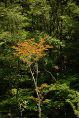 red maple tree among green forest