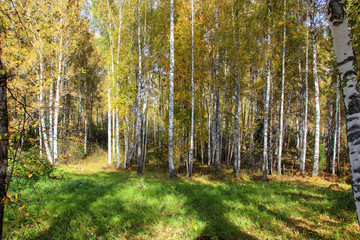 Tall slender white birch trunks in a golden dress  Russian autum