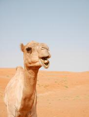 Smiling camel in Wahiba desert, Oman