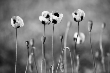 Black and white poppy flowers