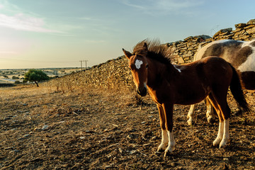 ponies in an orchard in Salorino, Caceres, in Extremadura, Spain