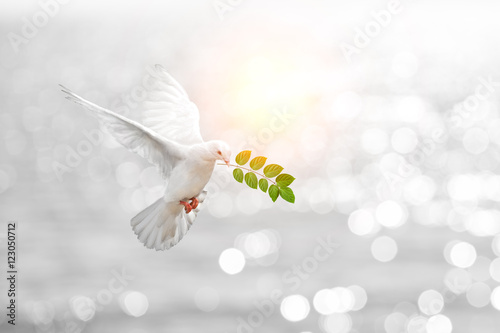 Fototapete Dove carrying leaf branch